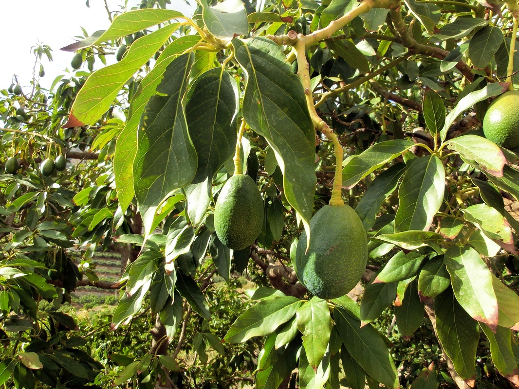 Avocado Tree with Ripe Fruit