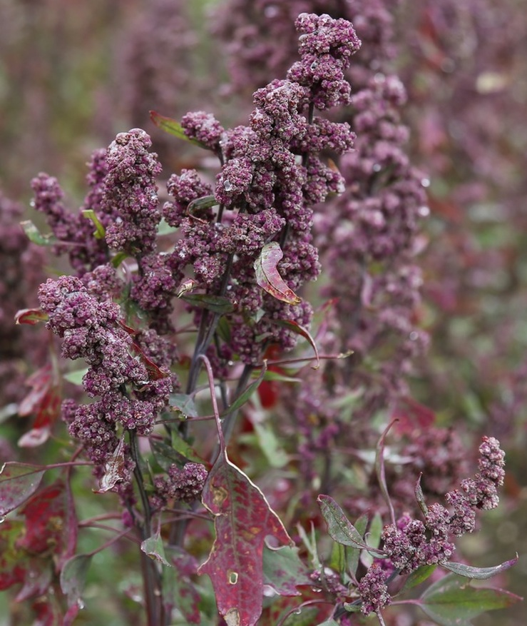 Quinoa Plant and Flower