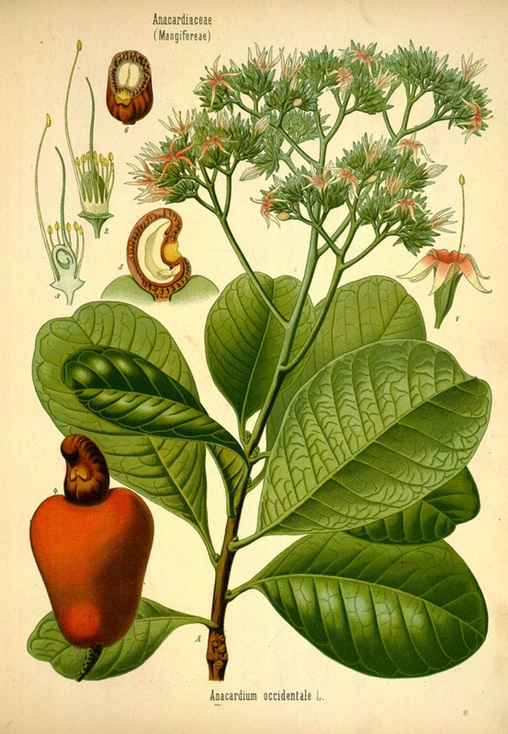 Cashew Tree and Nut Botanical Illustration
