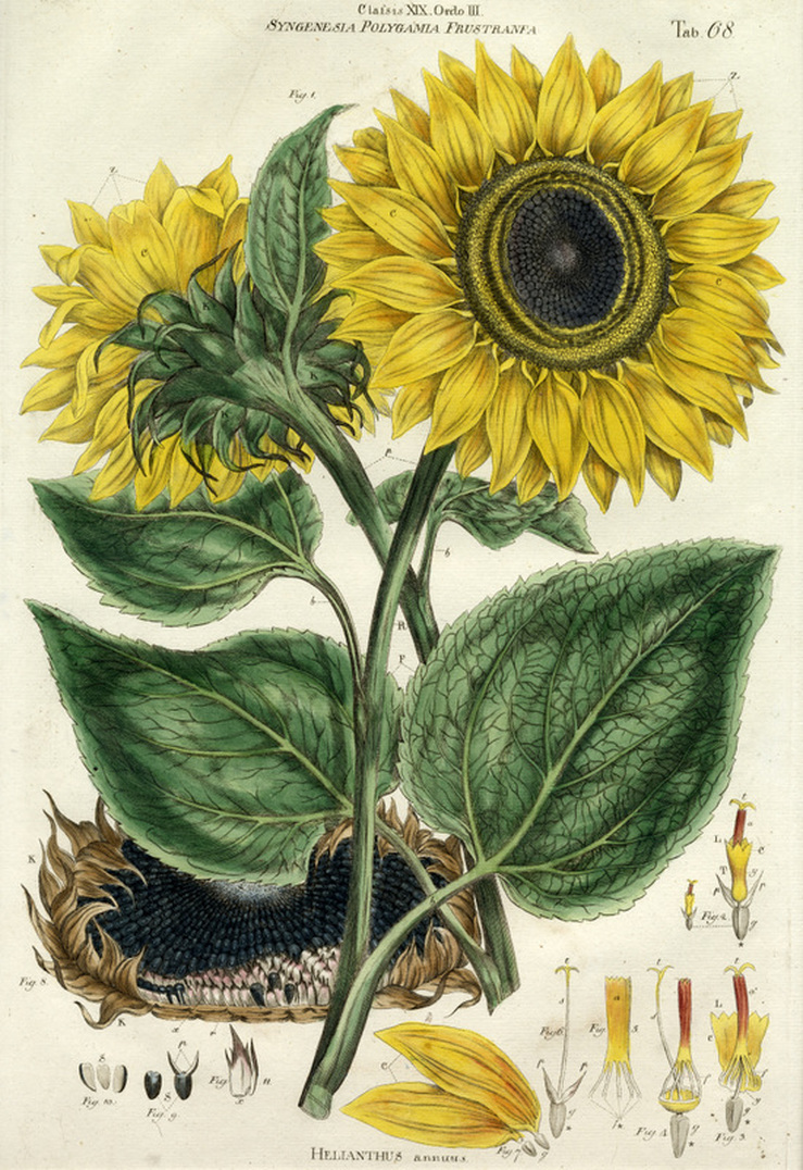 Sunflower Botanical Illustration
