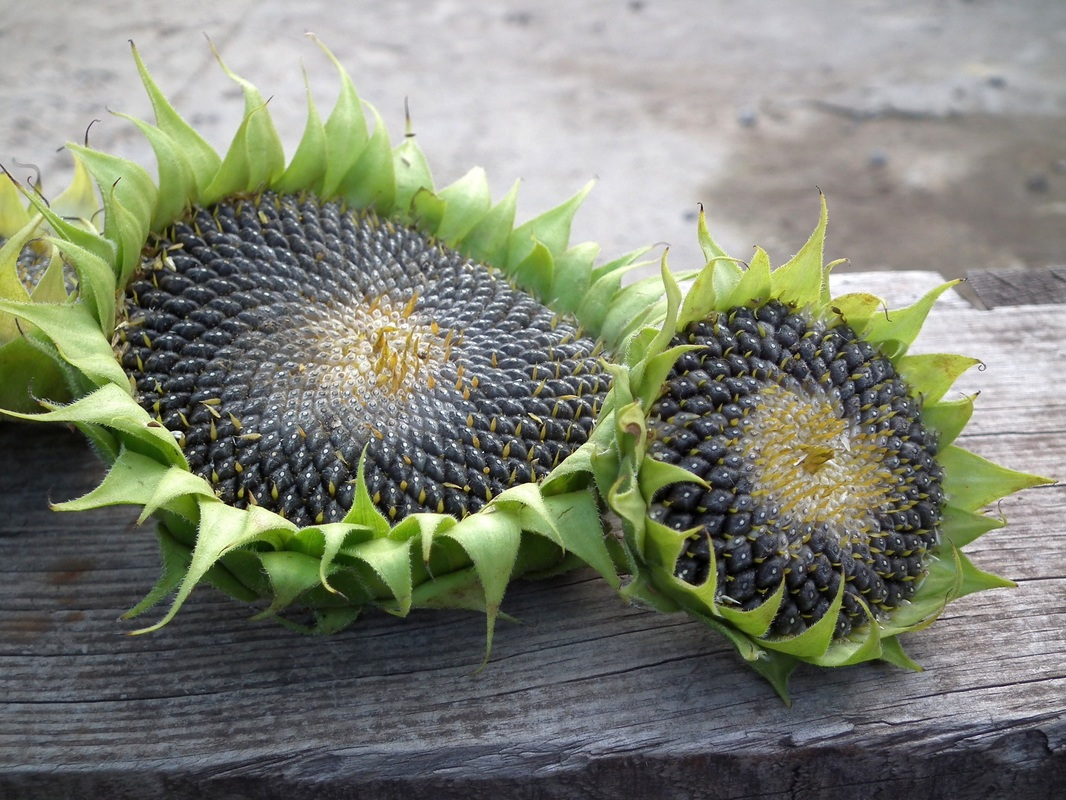 Sunflower Seeds Dried in Flower