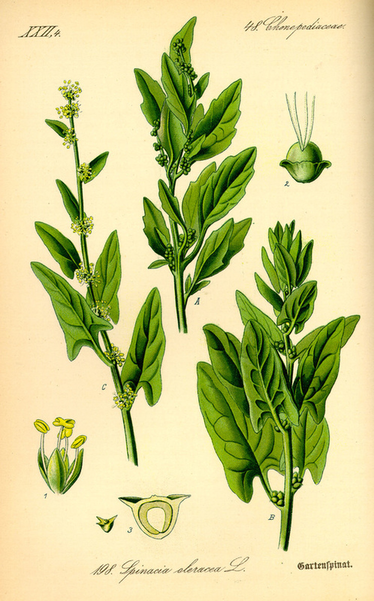 Spinach Botanical Illustration