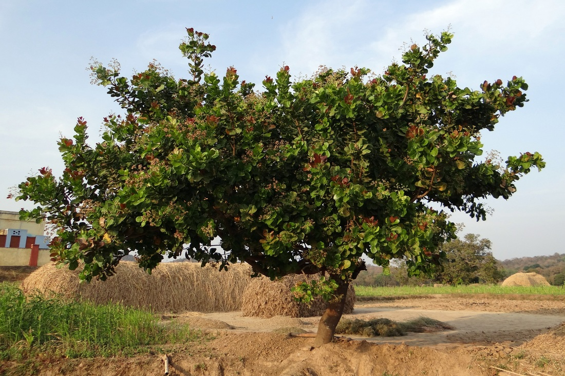 Cashew Tree with Flowers