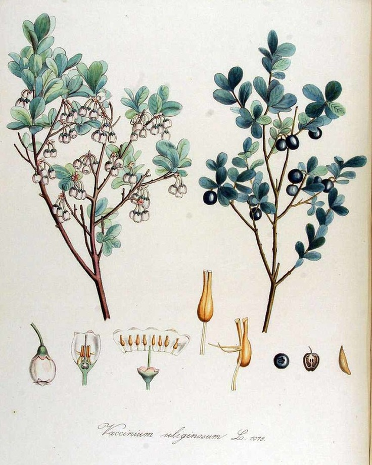 Botanical Drawing of Blueberries